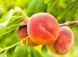 Персик на Кипре, фото