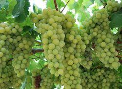 Виноград, фрукты Кипра, фото