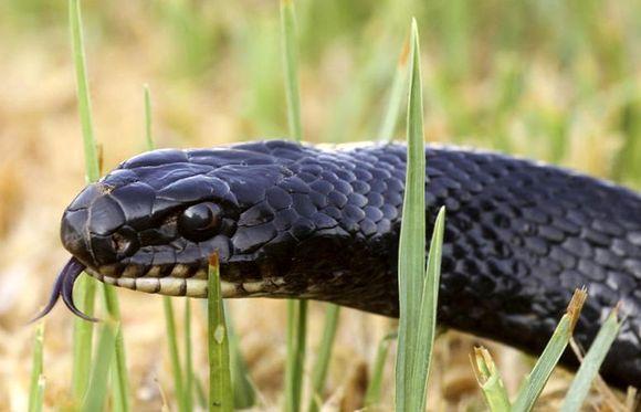 Змея, Кипр